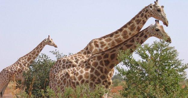 Seis turistas franceses, otros dos, asesinado en una emboscada en África jirafa reserva