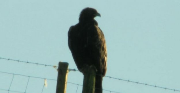 Springwatch del presentador de dolor por la muerte de águila