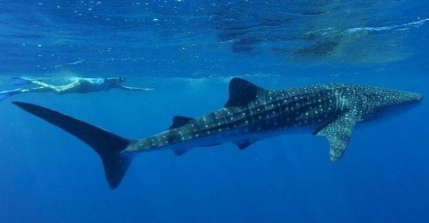 Turista 'aplastado' de avistamiento de tiburón en Australia