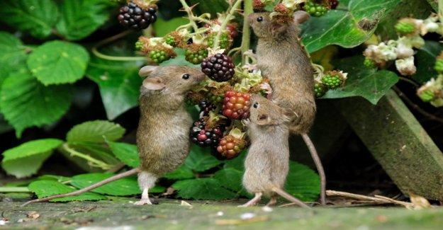 Viral foto muestra los ratones 'posando', ya que comer moras