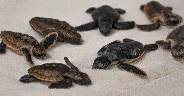 Zoológico de Florida toma en docenas de tortugas marinas durante Isaias pero dice que 'no necesita estar aquí