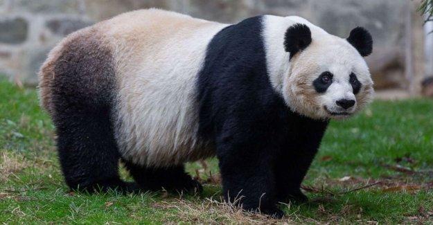 Zoológico nacional dice panda Mei Xiang parece estar embarazada, podría dar a luz pronto