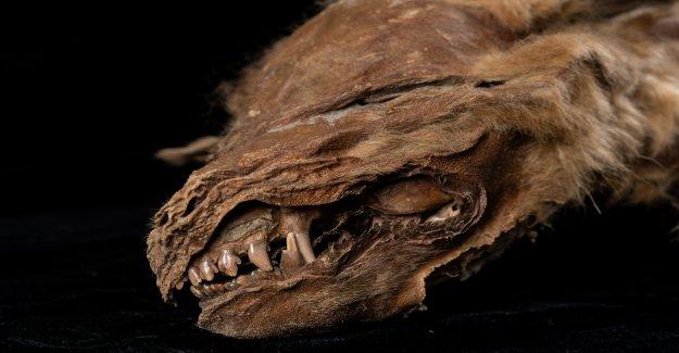 Nuevos detalles que dio a conocer unos 57,000-año-viejo lobo cachorro descubierto congelado
