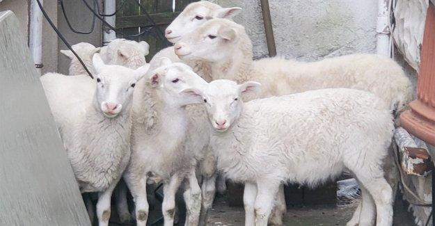 El propietario de una casa en Brooklyn llama al 911 después de encontrar un rebaño de ovejas en el patio trasero