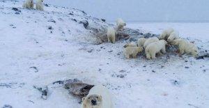 Los osos polares invadir la aldea rusa: alimentado por los habitantes