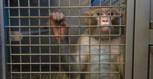 El Consejo de Estado, guardar y los macacos: detener la experimentación de la universidad de Turín