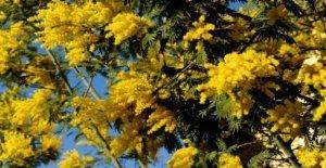 Este loco de invierno ha enviado a la naturaleza en picada: las mimosas ya están en flor