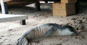 La muerte de un cachorro de foca monje varado en Salento: la de Especie en peligro