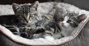 Festival nacional de la cat: Felix tiene siete vidas y no se puede ver en la oscuridad. Los mitos deben ser desacreditado