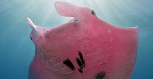 Rara manta rosa fotografiado en Australia