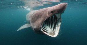 En el acuario de Tokio nacen de el tiburón peregrino, el fósil viviente