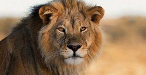 Australia cuidador mutilado en león ataque