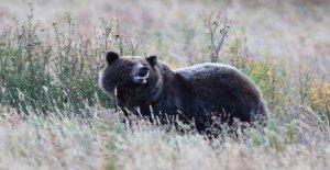 El oso pardo se lesiona ciclista cerca de Big Sky Montana