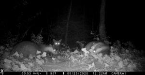 Fox visto en cámara de observación de intensa lucha tejón