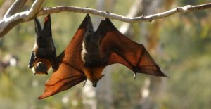 Nuevo coronavirus encontrado en murciélagos es pariente más cercano para el SARS-CoV-2 visto todavía
