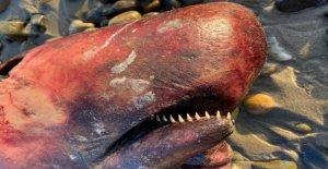 Rara ballena con una larga, dientes puntiagudos se lava en la playa de California
