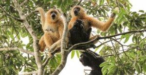 Rayo de esperanza para los más raros del mundo de los primates