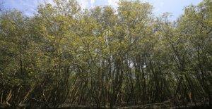 Aumento del nivel del mar podría eliminar los bosques de manglares en el 2050, según el estudio