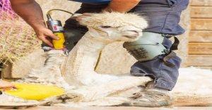 Viral imágenes muestran chill-out alpaca conseguir esquilados durante el verano