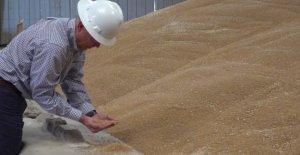 Arizona agricultores de trigo prosperar en medio de COVID-19 como la pasta de ventas se disparan