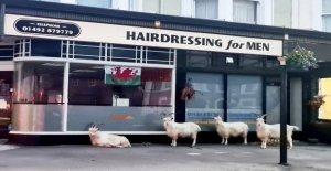 Cabras manchada de fuera de la barbería durante coronavirus de bloqueo: 'realmente Un momento oportuno'