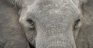 Catastrófico número de muertes de elefantes misterio: Cientos de personas han caído muerto en Botswana, y nadie sabe por qué