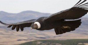 Cóndor de los pájaros de la aleta de alas tan sólo el 1% del tiempo'