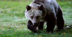 Corte de apelaciones: Juez fue derecho a revivir grizzly protecciones