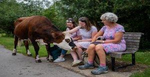 Divertidas fotos muestran las vacas caminando alrededor de la reserva natural, incluyendo uno tratando de comer de la gente almuerzos
