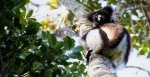 Extinción: Un tercio de todos los lémures 'al borde'