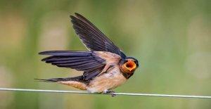 Fotógrafo toma imágenes increíbles de la alimentación de los pájaros a sus jóvenes a medida que se cierne en el aire