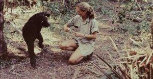Jane Goodall en 60 años de estudio de los chimpancés en África: 'todavía estamos aprendiendo cosas nuevas'