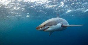 Los grandes tiburones blancos están al acecho fuera de la ciudad: las playas de la zona