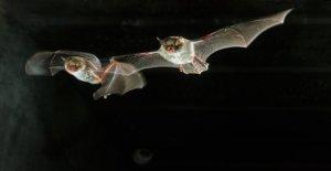 Los murciélagos de la oferta COVID-19 de tratamiento de pistas, dicen los científicos