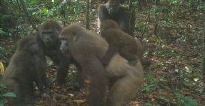 Más raros del mundo de los grandes simios en la foto con los bebés