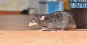 NYC los clientes de un restaurante molestado por las ratas, mientras que de comedor exterior: informe
