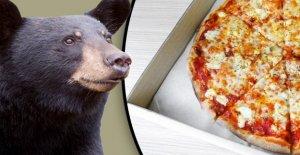 Oso hojas de Ontario con hambre después de romper en encontrar pizza