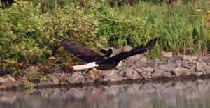 Rojo mirlo de alas fotografiado enganche de montar en la espalda del águila calva