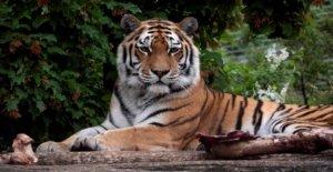 Tigre mata a Zurich cuidador en frente de los visitantes