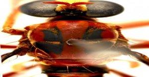 Australiana de 'assassin'moscas nombrado después de Deadpool, Stan Lee, de la Viuda Negra