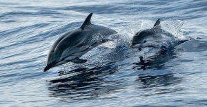 Cape Cod voluntarios de la carrera para rescatar a 45 delfines varados en la playa