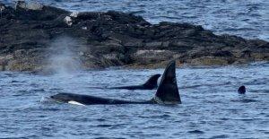 Difícil de alcanzar Shetland Orcas capturado en la película, creando-una-vez-en-la-vida momento