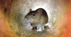 El crecimiento de la ciudad favorece a los animales más probabilidades de llevar a la enfermedad
