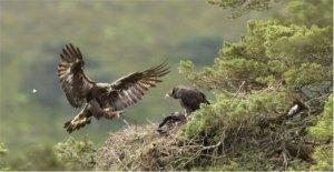 Golden eagles éxito de cría en tierras altas de bienes raíces
