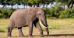 Kenia de la población de elefantes se ha más que duplicado en las últimas tres décadas, los funcionarios dicen