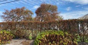 Nueva York árboles marrones después de la Tormenta Tropical Isaias debido a un fenómeno interesante': los meteorólogos