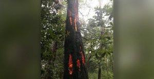 Rayo en Carolina del Sur, las hojas del árbol con la quema de 'marcas de las garras'