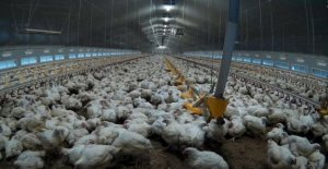 Supermercado pollos sufrimiento agonizante muertes'