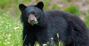 Video Viral muestra del grupo de alimentación de los sándwiches de mantequilla de maní a oso salvaje, los usuarios de Twitter reaccionar