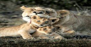 Viral foto muestra leona acurrucarse con sus cachorros en el famoso Africano en la reserva de caza